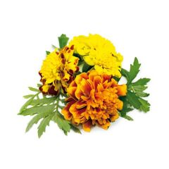 French Marigold Plant Pods